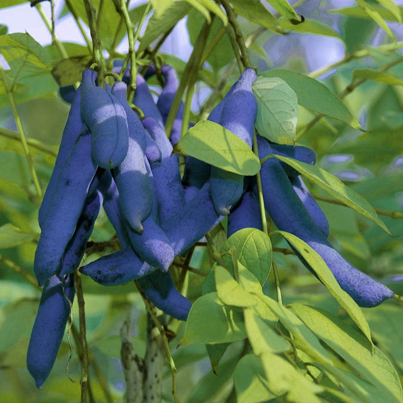 Unusual Dead Man Blue Fingers Fruit Decaisna fargesii - 5 Seeds