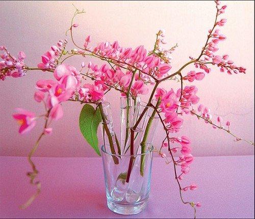 Pink Coral Vine Chain of Love Antigonon leptopus - 10 Seeds