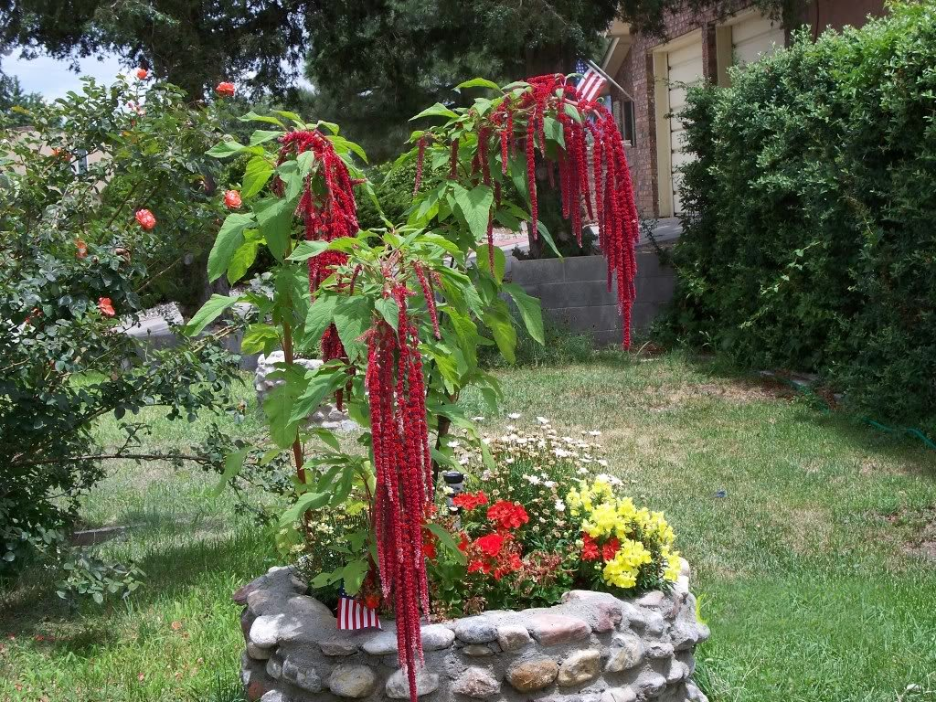 Red Love Lies Bleeding Amaranth Amaranthus caudatus - 300 Seeds