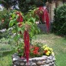 Red Love Lies Bleeding Amaranth Amaranthus caudatus - 300 Seeds