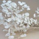 Silver Dollar Plant Honesty Lunaria annua  - 80 Seeds