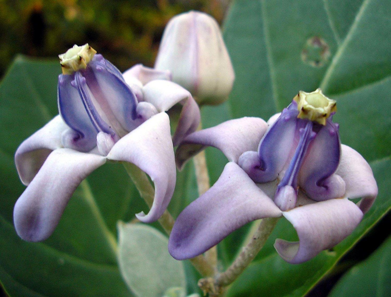 Rare crown flower milkweed calotropis gigantea 8 seeds izmirmasajfo