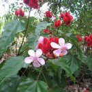 Lipstick Bush Annatto Bixa orellana - 25 Seeds
