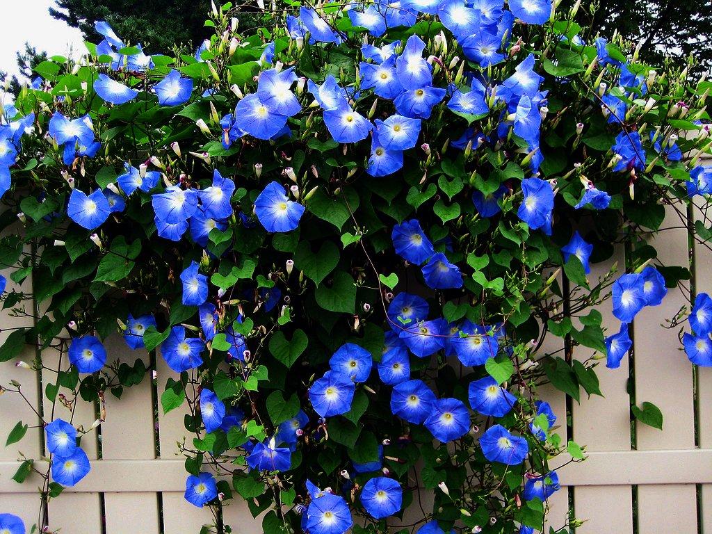 Deep Blue Morning Glory Ipomoea purpurea - 20 Seeds