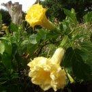 Datura Metel Double Triple Yellow Ballerina - 10 Seeds