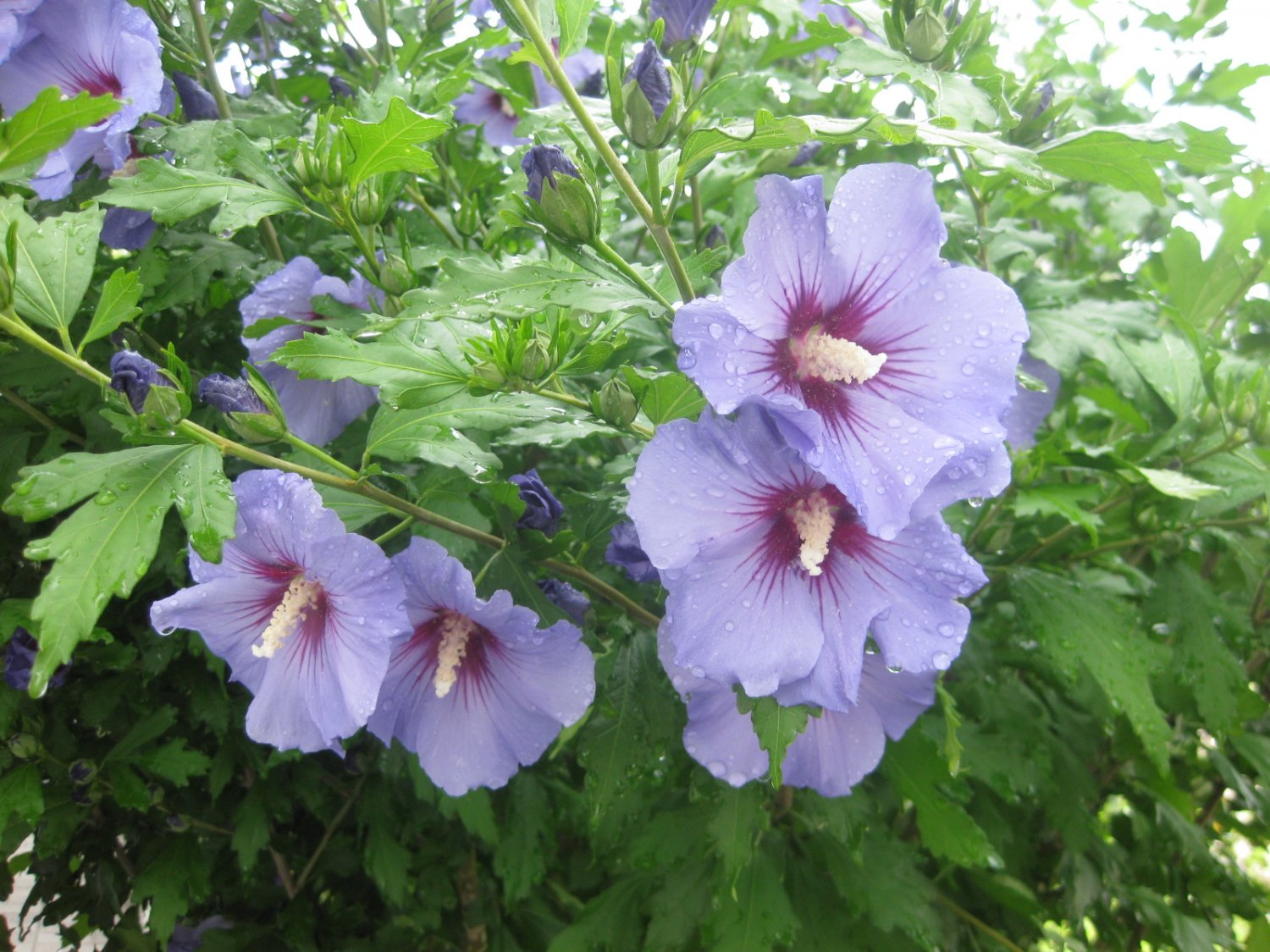 Blue Rose of Sharon Hibiscus syriacus - 15 Seeds