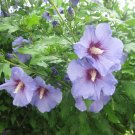 Blue Purple Rose of Sharon Hibiscus syriacus - 15 Seeds