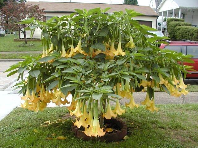 Yellow Angel Trumpet Brugmansia - 5 Seeds