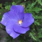 Rare Blue Purple Hibiscus Alyogyne huegelii - 12 Seeds