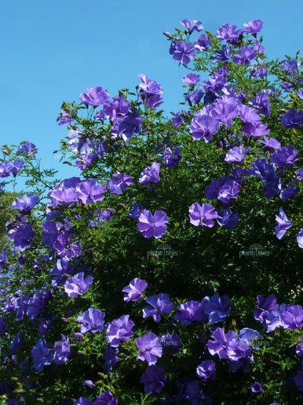 Rare Blue Purple Hibiscus Alyogyne Huegelii 12 Seeds