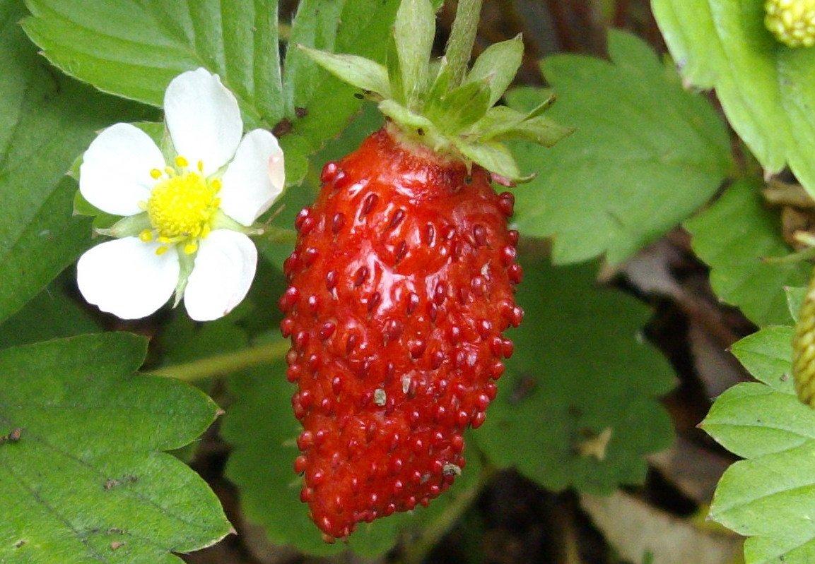 Heirloom Strawberry Plant Fragaria vesca Alexandria - 50 Seeds