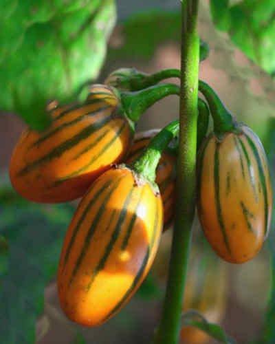 Orange Aubergine Eggplant Striped Toga Solanum melongena - 20 Seeds