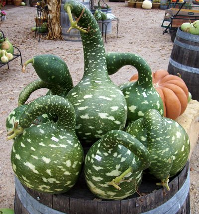 Heirloom Speckled Swan Gourd Lagenaria Siceraria 10 Seeds