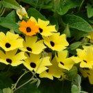Black Eyed Susan Vine Thunbergia alata - 20 Seeds