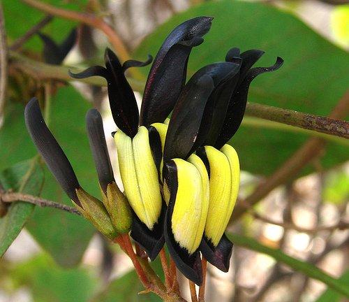Black Coral Creeper Vine Kennedia nigricans - 8 Seeds