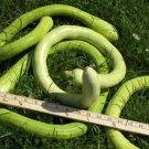 Rare Serpentine Snake Gourd Italian Cucuzzi Caravazzi - 10 Seeds