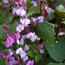 Purple Hyacinth Bean Vine Fragrant Dolichos lablab - 10 Seeds