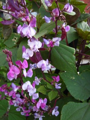 Purple Hyacinth Bean Dolichos Lablab 10 Seeds