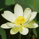 American Lotus Pond Water Lily Nelumbo lutea - 4 Seeds