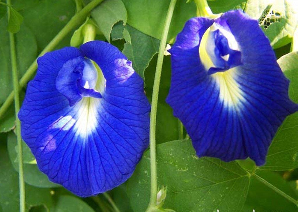 Blue Butterfly Pea Vine Clitoria ternatea - 10 Seeds