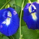 Organic Blue Butterfly Pea Vine Clitoria ternatea - 8 Seeds