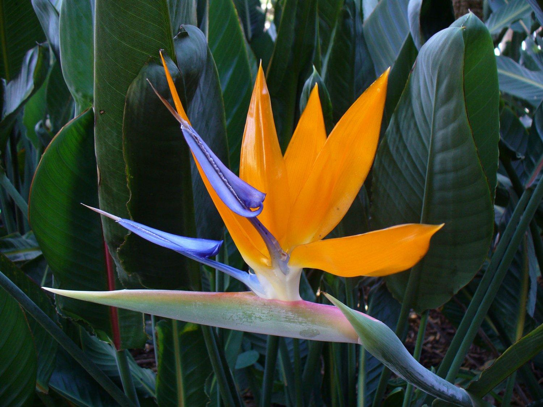 Orange Bird of Paradise Strelitzia reginae - 10 Seeds