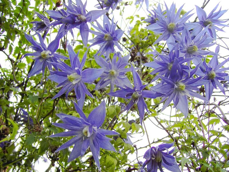 Blue Downy Clematis macropetala - 15 Seeds