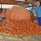 Dills Atlantic Giant Competition Pumpkin - 5 Seeds