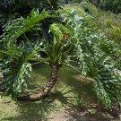 Lacy Tree Philodendron bipinnatifidum Selloum - 50 Seeds