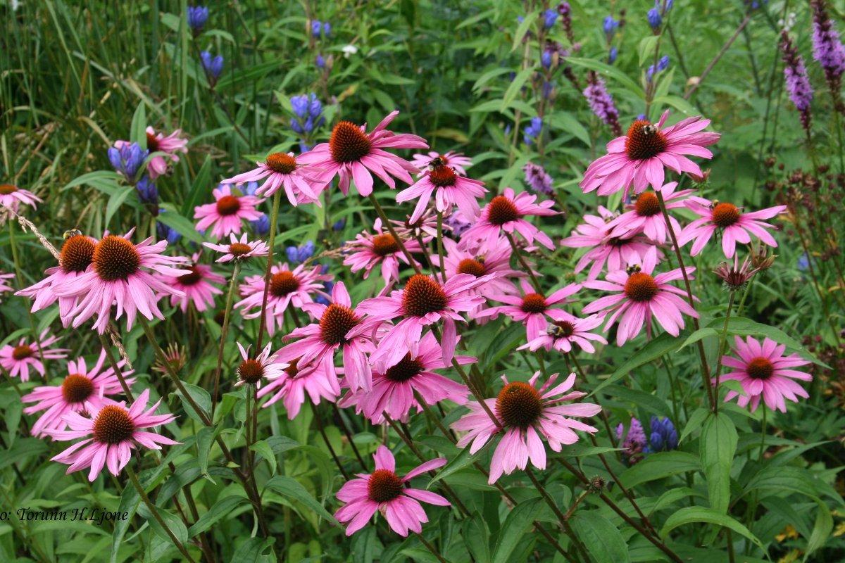Bee Magnet Organic Purple Coneflower Echinacea Purpurea - 200 Seeds