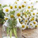 Organic German Chamomile Herb Matricaria recutita - 1000 Seeds