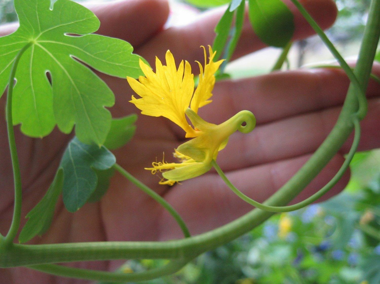 Green Family Stores >> Rare Canary Bird Vine Tropaeolum peregrinum - 10 Seeds