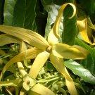 Aromatherapy Perfume Tree Ylang Ylang Cananga odorata - 15 Seeds
