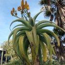 African Tree Aloe Dune Aloe thraskii - 15 Seeds