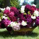 Edible Flowers Organic Sweet William Mix Dianthus barbatus - 150 Seeds