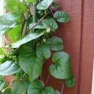 Red Climbing Malabar Spinach Alugbati Basella ruba - 25 Seeds