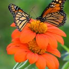 Mexican Sunflower Tithonia rotundifolia Torch - 100 seeds