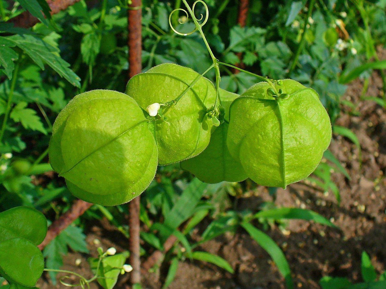 Love in a Puff Balloon Vine Cardiospermum halicacabum - 12 Seeds