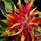 Ornamental Amaranth Joseph's Coat Amaranthus tricolor Perfecta - 100 Seeds