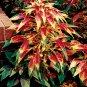 """Joseph's Coat Amaranthus tricolor """"Perfecta"""" - 50 Seeds"""