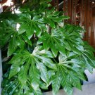 Houseplant Japanese Aralia Fatsia japonica - 20 Seeds