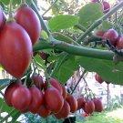 Rare Tree Tomato Tamarillo Tomarillo Cyphomandra Betaceae - 10 Seeds