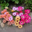 South African Ice Plant 'Magic Carpet' Dorotheanthus bellidiformis - 50 Seeds