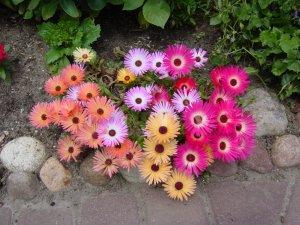 South African Ice Plant 'Magic Carpet' Dorotheanthus bellidiformis - 30 Seeds