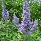 Blue Chaste Tree Vitex agnus castus - 20 Seeds