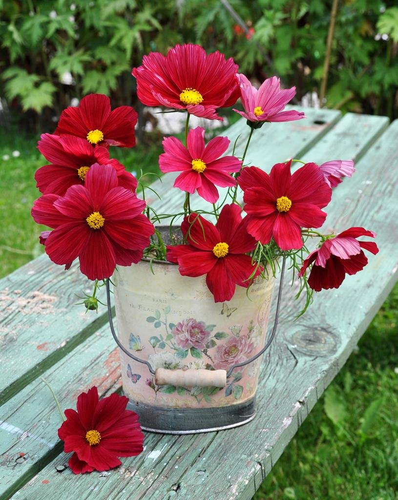 Sale! Red Cosmos 'Rubenza' Cosmos bipinnatus - 75 Seeds