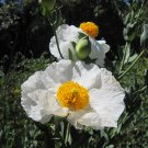 Rare White Tree Matilija Poppy Romneya coulteri - 50 Seeds