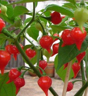 Rare Brazilian Gourmet Biquinho Pepper Pimenta De Bico - 20 Seeds