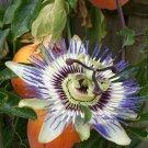 Passion Flower Blue Passiflora Caerulea - 10 Seeds