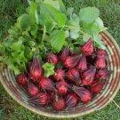 Hibiscus Tea Tropical Roselle Wild Hibiscus sabdariffa - 10 Seeds